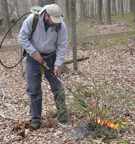 From UConn Today-- Jeffrey Ward, chief scientist in the department of forestry and horticulture at the Connecticut Agricultural Experiement Station demonstrates the use of a propane torch. (Photo courtesy of Jeffrey Ward)